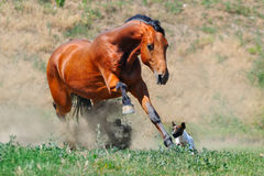 Bay stallion running after jack russel terrier Royalty Free Stock Photos