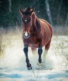 Bay stallion running Royalty Free Stock Image