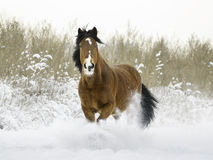 Bay stallion running in winter Royalty Free Stock Photography