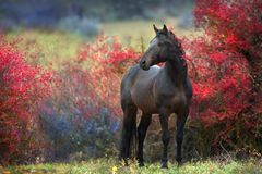 Bay stallion in autumn berry trees. Bay stallion standing in crataegus trees stock photos