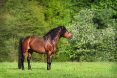 Bay stallion standing. In spring pasture Royalty Free Stock Images