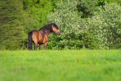 Bay stallion standing. In spring pasture Stock Photos