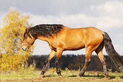 Bay stallion trotting. In autumn field Royalty Free Stock Images