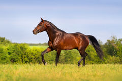 Bay stallion trotting in spring field Royalty Free Stock Photo