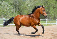 Bay stallion of Ukrainian riding breed. Gallops on manege Royalty Free Stock Images