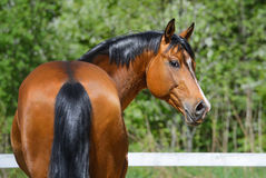 Bay stallion of Ukrainian riding breed Stock Image