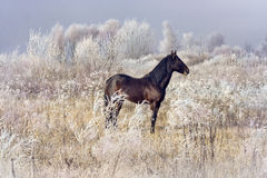 Bay stallion Stock Photography
