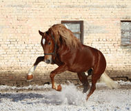 Bay stallion on walk Royalty Free Stock Photos
