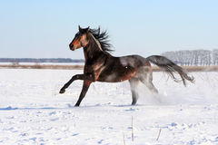 Bay stallion. Young purebred, thoroughbred horse, beautiful horse, bloodstock, graceful animal, noble animal, ungulate, herbivore, bay horse, sorrel, horse on Stock Photo