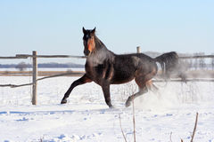 Bay stallion Royalty Free Stock Image