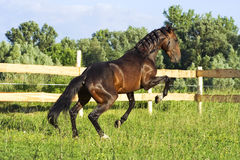 Bay stallion Stock Image