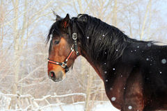 Bay stallion. Young thoroughbred horse, beautiful horse at liberty, noble animal, sorrel, horse portrait in winter Royalty Free Stock Photos