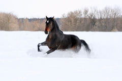 Bay stallion. Young thoroughbred horse, beautiful horse at liberty, noble animal, sorrel, horse running, horse galloping in the snow Stock Photography