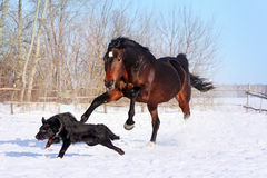 Bay stallion. Young thoroughbred horse, beautiful horse at liberty, noble animal, sorrel, horse running, horse playing with a dog, black dog, horse on white Stock Photography