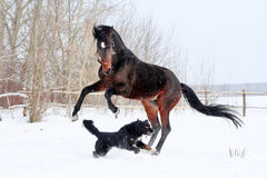 Bay stallion. Young thoroughbred horse, beautiful horse at liberty, noble animal, sorrel, horse running, stallion with long mane, stallion playing with a black Royalty Free Stock Photos