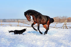 Bay stallion. Young thoroughbred horse, beautiful horse at liberty, noble animal, sorrel, horse running, stallion with long mane, stallion playing with a black Stock Photos
