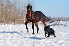 Bay stallion. Young thoroughbred horse, beautiful horse at liberty, noble animal, sorrel, horse running in the snow, stallion playing with a dog, black dog Royalty Free Stock Images