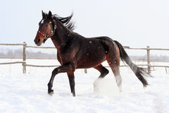 Bay stallion Royalty Free Stock Images