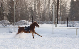Bay steed runs on a snowy field Royalty Free Stock Photography