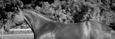 Bay thoroughbred in black and white Royalty Free Stock Image