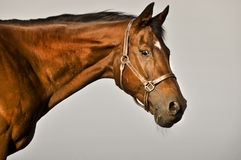 Bay thoroughbred horse Stock Photo