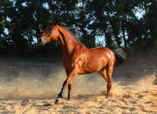 Bay thoroughbred horse runs gallop Royalty Free Stock Photo