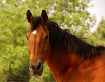 Bay thoroughbred horse in summer Royalty Free Stock Images