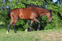 Bay thoroughbred mare walking Stock Photo