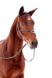 Bay thoroughbred stallion isolated on white Stock Photo