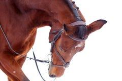 Bay thoroughbred stallion isolated on white. Background Royalty Free Stock Images