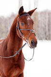 Bay thoroughbred stallion at winter park Royalty Free Stock Photography