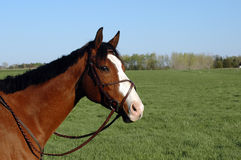 Bay thoroughbred with wide blaze. Bay off the track thoroughbred with big white blaze in lush green field with figure eight bridle royalty free stock images