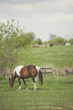 Bay tobiano mare grazing Royalty Free Stock Image