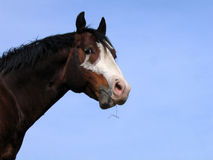 Bay tobiano stallion Royalty Free Stock Photography