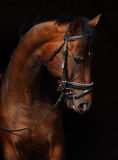 Bay Trakehner Horse Royalty Free Stock Photo