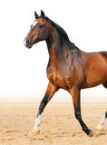 Bay Trakehner stallion stock photos