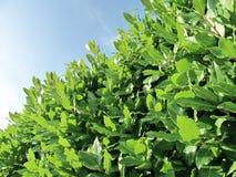 Bay tree Stock Image