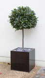 Bay tree in cube pot Royalty Free Stock Photos
