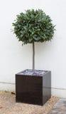 Bay tree in cube pot Royalty Free Stock Photos