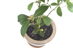 Bay Tree Growing in Pot Royalty Free Stock Image