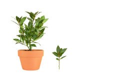 Bay Tree Herb and Leaf Sprig Stock Photos