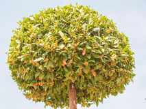 Bay tree Stock Image