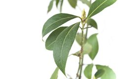 Bay Tree Leaves Close-Up Stock Photography