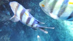 Bay. Tropical Fishes on a coral reef  in red sea hd video stock footage