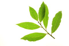Bay twig with fresh leaves. Bay leaves against a white background Royalty Free Stock Photography