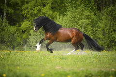 Bay Vladimir Heavy Draft horse playing on the meadow Royalty Free Stock Images