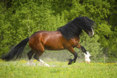 Bay Vladimir Heavy Draft horse playing on the meadow Royalty Free Stock Image
