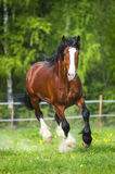 Bay Vladimir Heavy Draft horse runs gallop on the meadow Stock Images