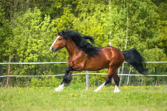 Bay Vladimir Heavy Draft horse runs gallop on the meadow Royalty Free Stock Photos