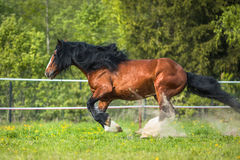 Bay Vladimir Heavy Draft horse runs gallop on the meadow Stock Photo